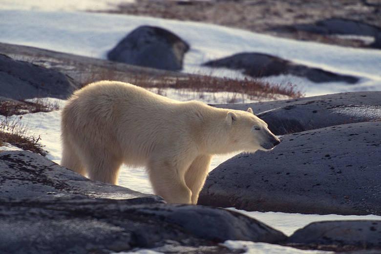 Niedźwiedź polarny (Ursus maritimus) Naukowcy oceniają, że ich liczba w ciągu najbliższych 30-50 lat zmniejszy się o 30%. Zagrożone głównie z powodu