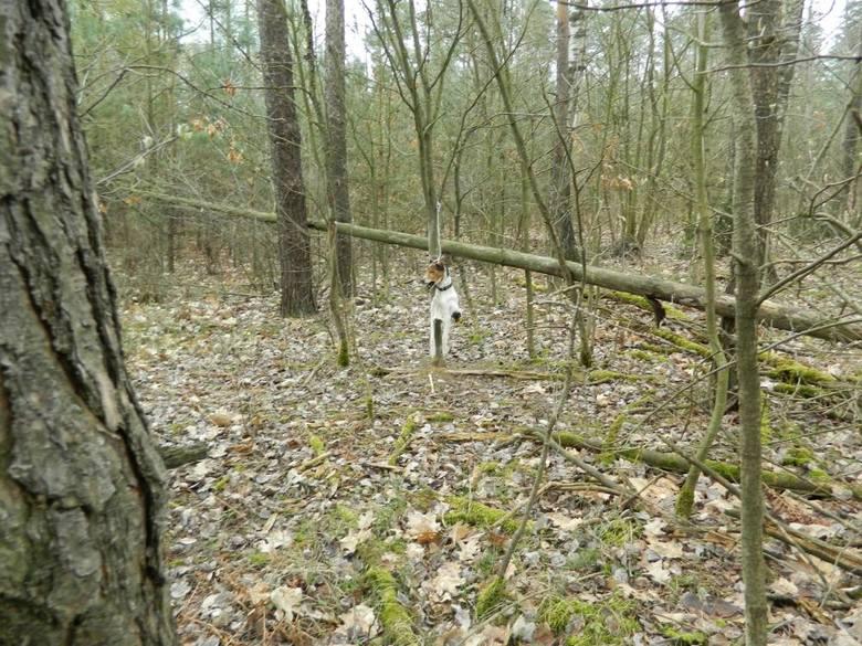 Ktoś powiesił psa na drzewie. Znaleźli go strażnicy leśni w okolicach Przasnysza