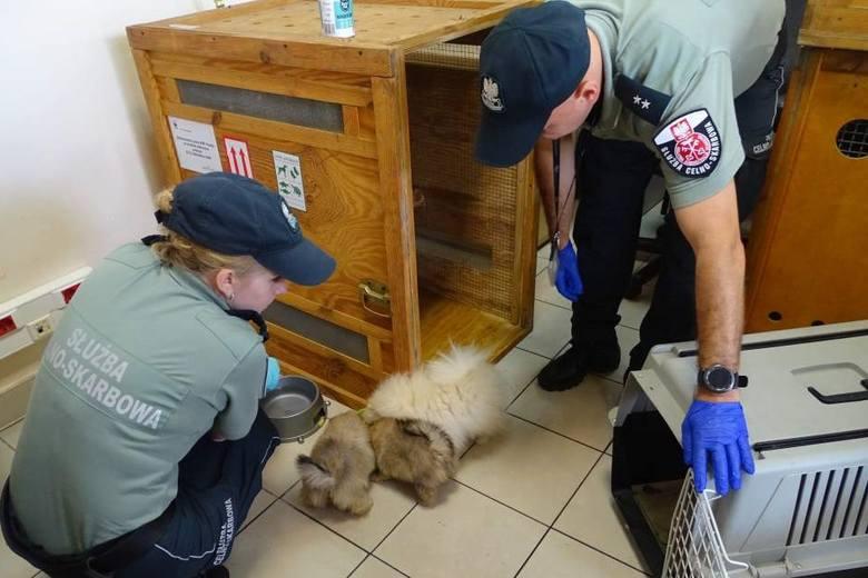 Cztery psy Pomeranian ze sfałszowanymi dokumentami paszportowymi na przejściu granicznym w Medyce [ZDJĘCIA]