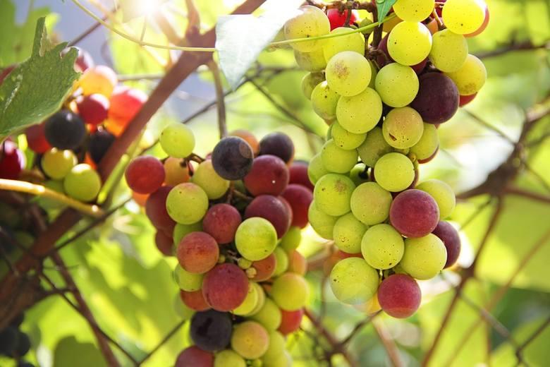 W Polsce zbieramy coraz więcej winogron i wyrabiamy wina. Zadeklaruj zbiory [infografika]