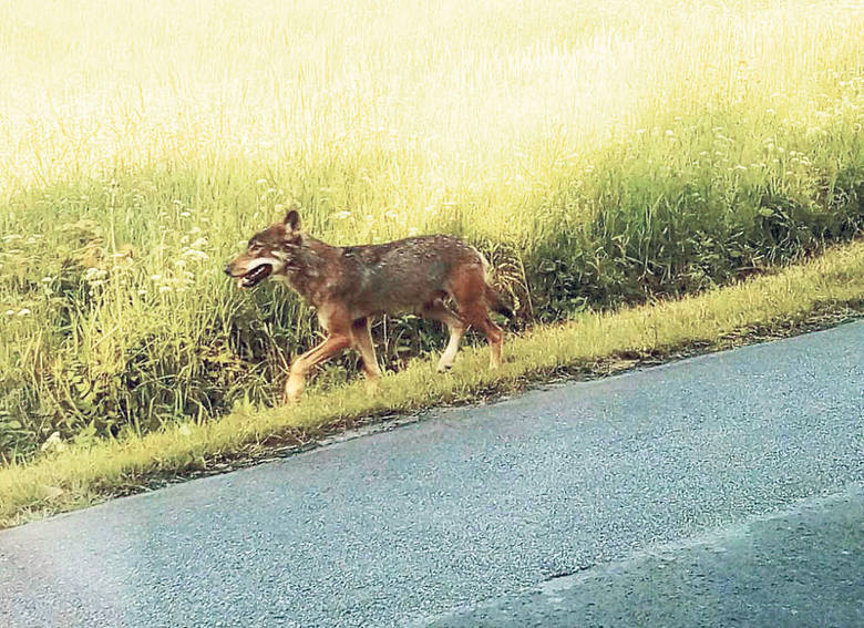 W Przysłupiu w Bieszczadach wilk pogryzł dzieci. Dlaczego? Takiego przypadku nie było od lat