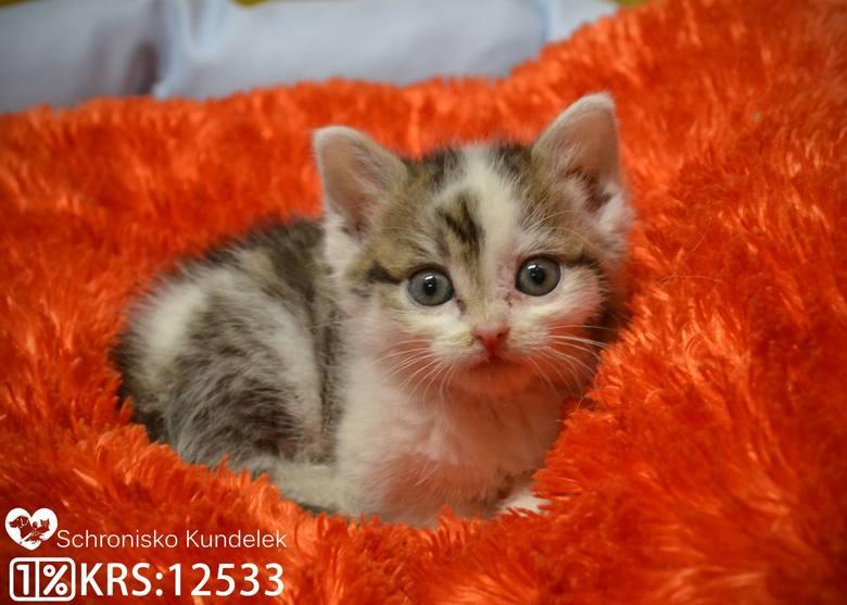 Evitka i Ewelinka to ok. 1,5 miesięczne kotki. Są odrobaczone. Zobacz też: Dziki terroryzują mieszkańców Hermanowej