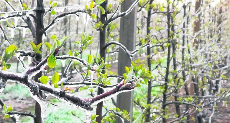 W sądach plantatorzy polewali wodą drzewka, żeby - kiedy się ta zamrozi - to lód chroni kwiatostany i gałęzie. Niektórzy stosowali inna metodę, czyli