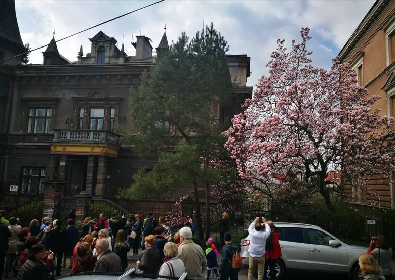 Kamienica Pohlnerów<br /> W tym pięknym miejscu podziwiać można okazałą magnolię Soulange'a (pośrednią). Znajduje się ona w ogrodzie przyległym do kamienicy licowanej żółtą glazurą, którą wybudowali na przełomie XIX i XX wieku słynni cieszyńscy producenci mebli -  Pohlnerowie.