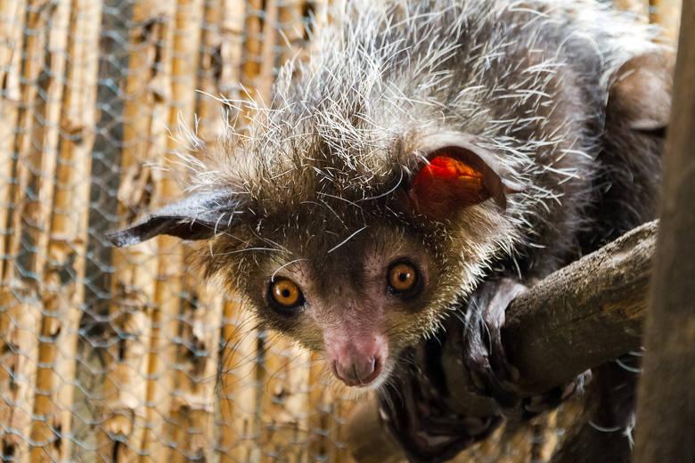 Palczak madagaskarskiProwadzący nocny tryb życia Palczak potrafi wystraszyć wielkimi, wytrzeszczonymi oczami i nietoperzymi uszami. Zwierzęciu daleko