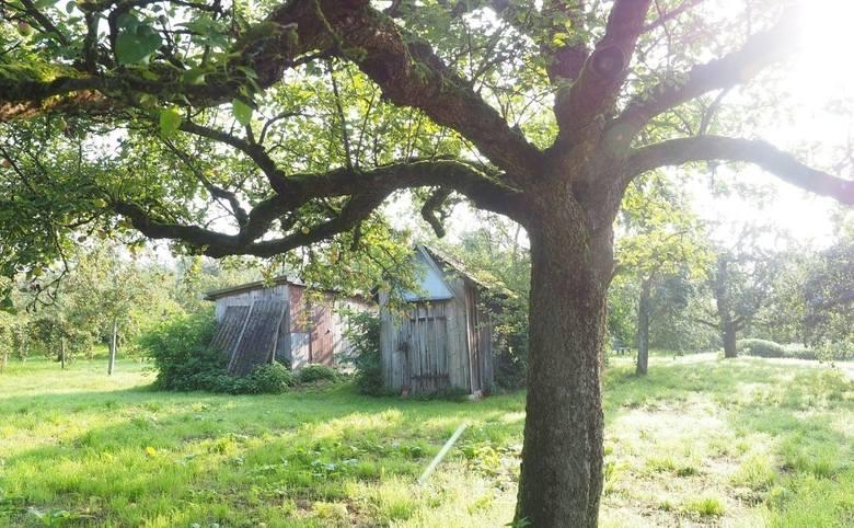 Stare drzewo owocowe