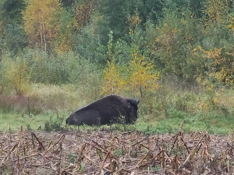 Nasza czytelniczka przesłała nam niezwykłe zdjęcia. W Koszalinie na ulicy Lubiatowskiej spotkała bizona.Zobacz także Koncert VooVoo w Filharmonii Ko