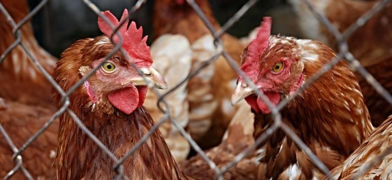 Producenci chcą odszkodowań za likwidację stad kur niosek