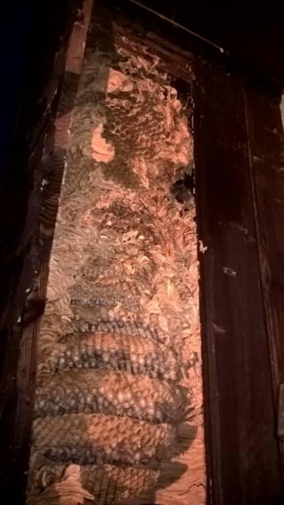 Szerszenie ulepiły kokon z osiemnastu plastrów