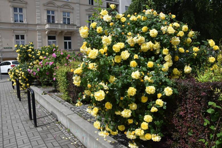 Maj 2019. Centrum Zielonej Góry. W mieście kwitną już m.in. piękne róże. W ostatnich miesiącach pojawiło się sporo zieleni. Co Waszym zdaniem powinno