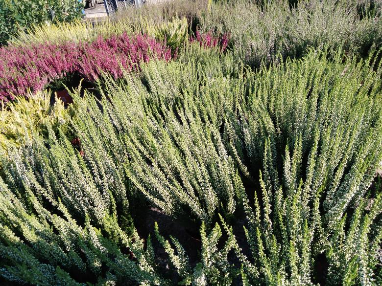 Na giełdzie samochodowej przy ul. Spichlerzowej na Załężu w Rzeszowie można kupić różnorodne krzewy, a także kwiaty. - Najlepiej sprzedają się wrzosy,