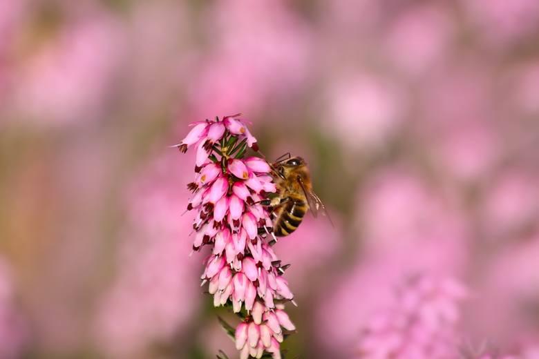 Miód produkowany z kwiatów wrzosów zdecydowanie wyróżnia się na tle pozostałych odmian miodu, swoją barwą, aromatem i smakiem. Stanowi odpowiedni wybór
