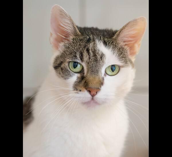 Hexa ma około 6 lat. Koteczka została potrącona przez samochód, miała połamaną miednicę. Trochę czasu potrwało, zanim wszystko dobrze się zrosło. To sympatyczna kotka, ale ma swój charakter. Dobrze dogaduje się z innymi kotami, jeśli nie przekraczają jej strefy komfortu. Bardzo lubi głaskanie po...