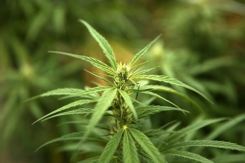 Marihuanę wykorzystywano w celach leczniczych już w starożytnych Indiach i Chinach. Jej kwiaty wspomagały leczenie zmian skórnych takich jak owrzodzenia