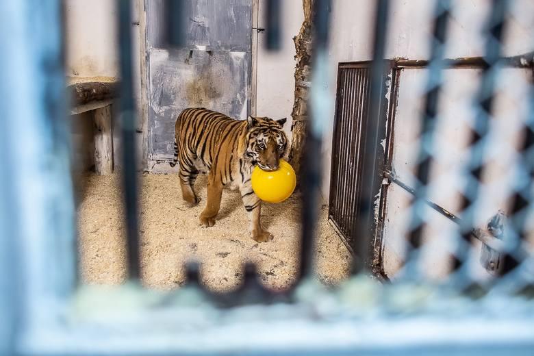 Tygrysy przebywające w Canpolu mają się coraz lepiej. Powoli zaczynają odkrywać, że istnieje życie poza klatką, bez bólu