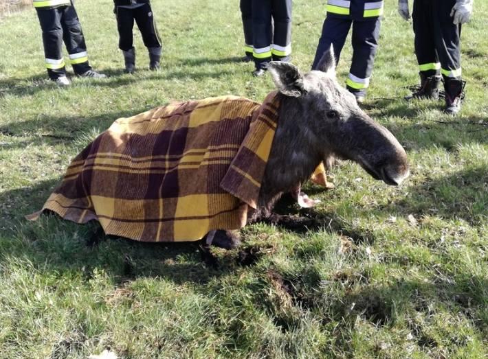 Do tego zdarzenia doszło w tym tygodniu w okolicach miejscowości Brzozówka w gminie Bargłów Kościelny. Leśniczy zauważył samice łosia, która ugrzązła