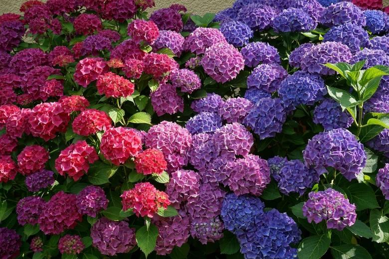 Hortensje są coraz bardziej popularne i trudno się temu dziwić, bo to wyjątkowo piękne krzewy. Co sezon też pojawiają się nowe odmiany, różniące się