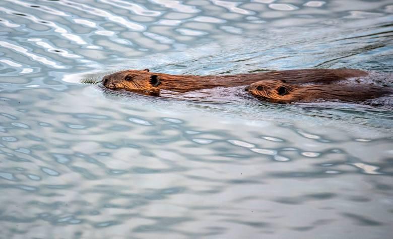 Więcej zdjęć z wyprawy można zobaczyć na blogu podróżników: www.thevanescape.com.<br /> <strong>W piątek opublikujemy rozmowę z podróżnikami.</strong> <br /> Zapytamy, jak prawić komplementy niedźwiedziom?<br /> Czy łatwo jest spotkać za oceanem innych Polaków, którzy nie uznają wycieczek organizowanych...