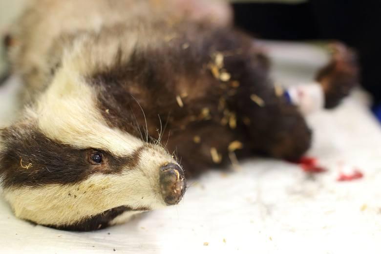 Do Ośrodka Rehabilitacji Zwierząt Chronionych w Przemyślu trafił ranny borsuk. Zwierzę zaatakowały psy. Uciekając przed śmiercią borsuk został zapędzony