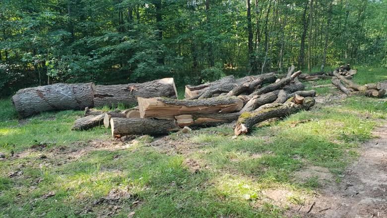 Czytelnik: kto pozwolił na wycinkę dębów nad Jeleniem? To barbarzyństwo, drzewa były zdrowe (zdjęcia)