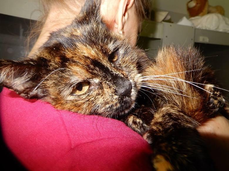 ŻELKA (K 23/04/19) to piękna koteczka o szylkretowym umaszczeniu. Żelka jest wysterylizowana. Wzięta na ręce mruczy i ufnie wtula się w człowieka. Widać,