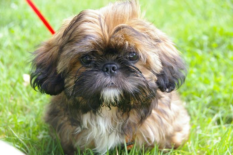10. SHIH TZURasa, która zakwalifikowana została do psów do towarzystwa. Są psami wesołymi, ich charakter zwykle dostosowuje się do trybu życia domowników.
