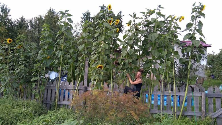 - W moim ogrodzie wyrosły wyjątkowe wysokie słoneczniki - napisała nam pani Monika. - Największy z nich mierzy już 4 i pół metra. I wciąż rośnie! - dodała