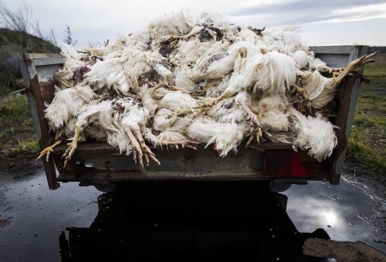 Koszmar na fermie. Padło 2 tysiące ptaków. Właściciel je głodził!