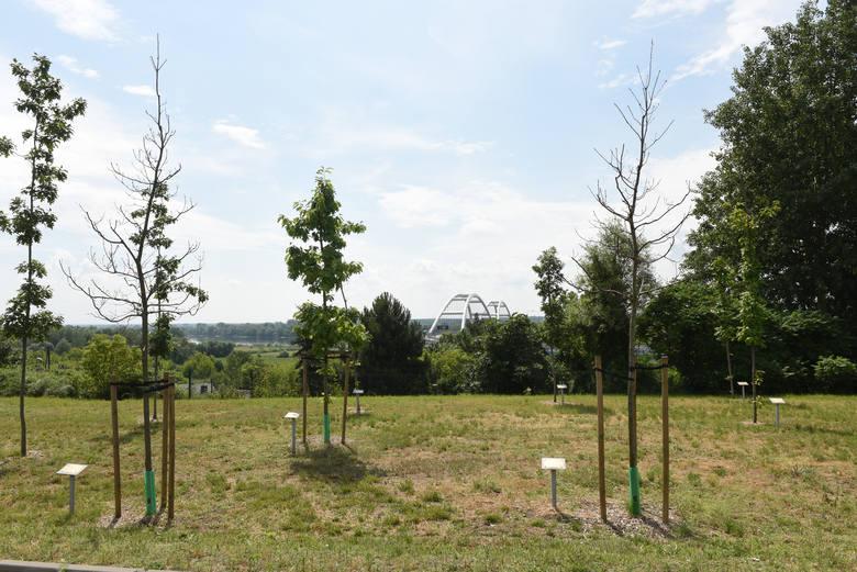 Drzewa to w Toruniu gorący temat. Niedawno mieliśmy demonstrację przeciw planowanej wycince lip na pl. Rapackiego. Pod petycją w tej sprawie podpisało