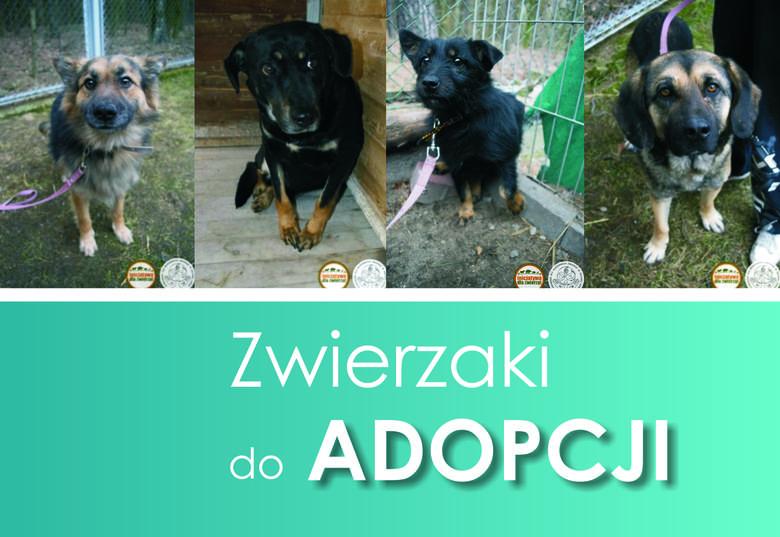 Od lutego tego roku bezdomne zwierzęta z gminy Szprotawa trafiają do Miejskiego Schroniska Dla Bezdomnych Zwierząt w Zielonej Górze. Już cztery miłe