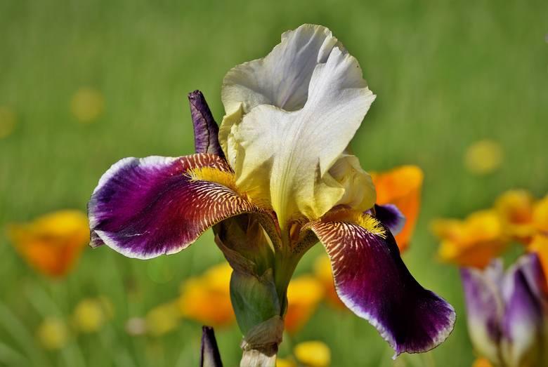 Irysy mają bardzo dużo gatunków i jeszcze więcej odmian. Mogą kwitnąć od wczesnej wiosny do lata. Zobacz, jakie warto posadzić.