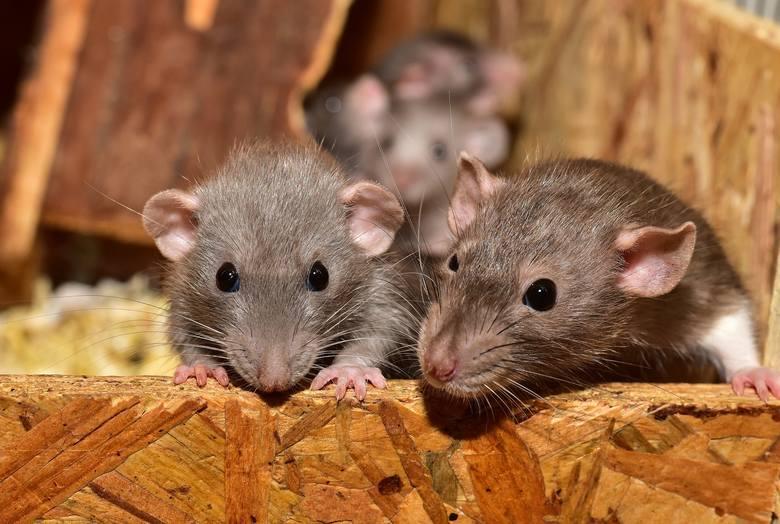 1. Pasta z martwej myszyMartwa mysz w ustach? Starożytni Egipcjanie robili to z nadzieją, że spowoduje złagodzenie bólu zęba. W niektórych przypadkach
