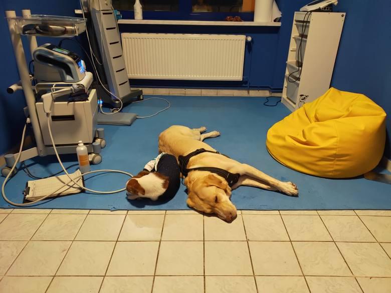 Leczenie i rehabilitacja Szelki kosztowały ponad 20 tys. złotych. Suczka cieszy się życiem dzięki wolontariuszom i darczyńcom, którzy zapłacili za jej leczenie. Dziś pomaga wrócić do formy innym czworonożnym pacjentom ośrodka Rehabilitacja z Psitupem w Krakowie. Tam też znalazła swój dom.