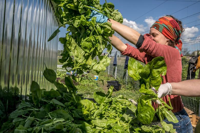 Na Krakowskiej Farmie Miejskiej uprawiają warzywa zgodnie z rytmem natury [ZDJĘCIA]