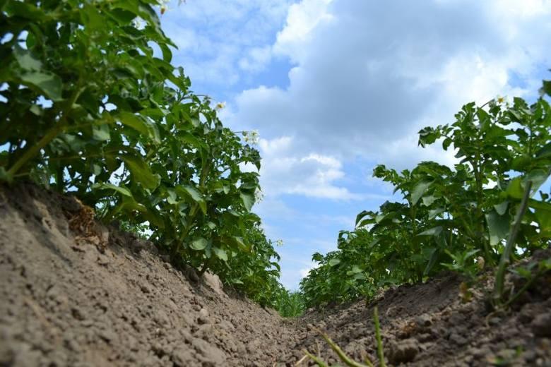 Ziemniaki były w czerwcu br. roku tańsze niż rok wcześniej. Czy nie podrożeją? To się okaże po zakończeniu zbiorów
