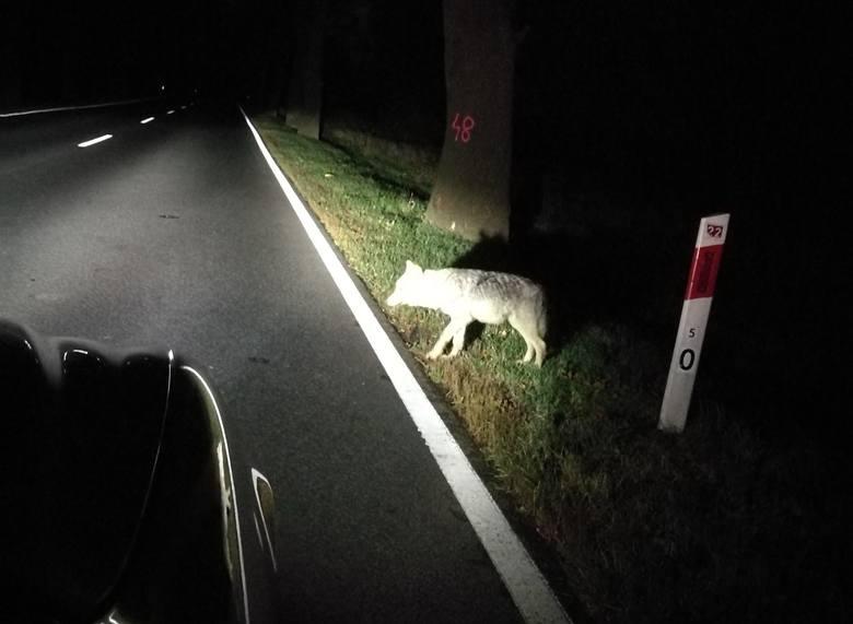 Wilk błąkał się przy drodze Kostrzyn nad Odrą - Słońsk
