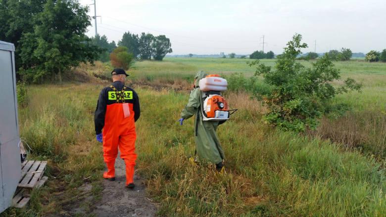 OSP Kamieniec Wrocławski: usuwanie barszczu Sosnowskiego