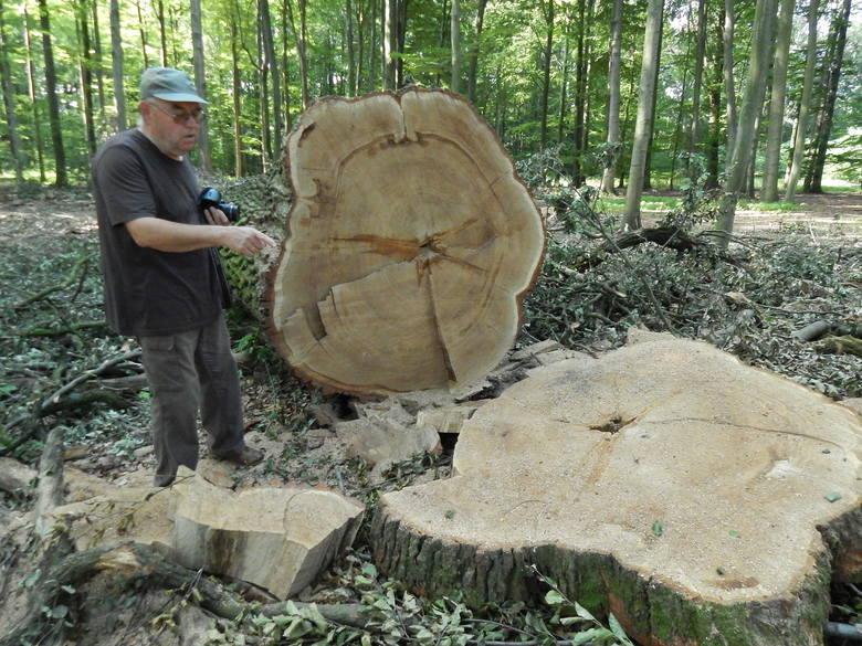W lesie przy Mosznej nigdy nie wycięto tylu wiekowych drzew. Na razie to 6 dębów szypułkowych liczących ok. 200 lat. Wycinkę czekają jednak kolejne drzewa.