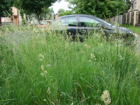 Trawa wzdłuż ul. Szczawińskiej rośnie w tym roku wyjątkowo bujnie.