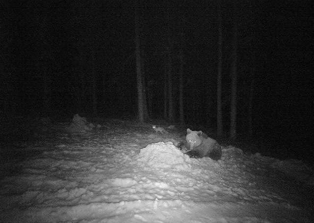 Zdjęcie niedźwiedzia z foto-pułapki umieszczonej w lesie w Wałkach