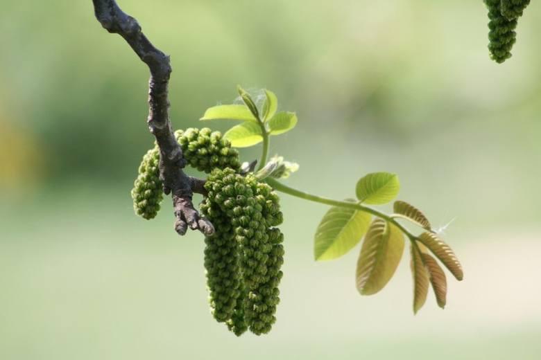 Kwiaty orzechów włoskich pojawiają się jednocześnie z liśćmi. Są bardzo wrażliwe na przymrozki.