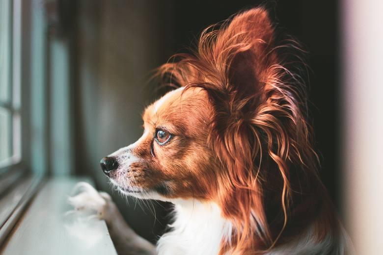Poznaj najmądrzejsze rasy psów. Te czworonogi szybko się uczą się, są wierne i kochają ludzi! Są idealne!