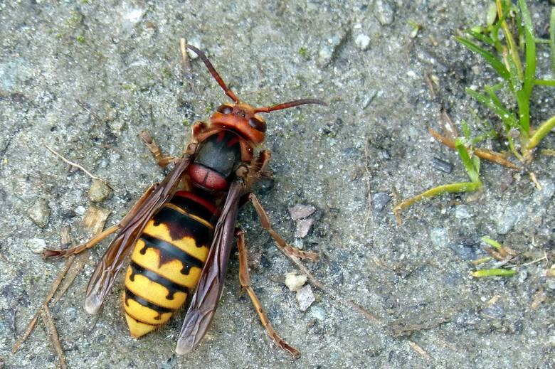 Szerszenie są największe z rodziny błonkowatych - mogą mieć ponad 30 mm długości.