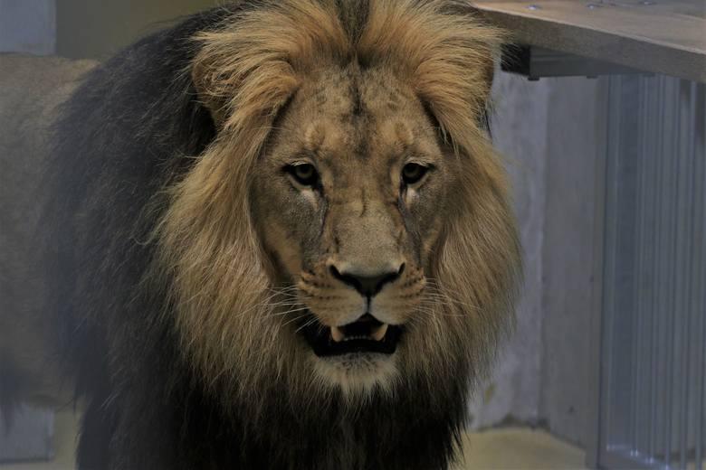 Lwy, które przyjechały do Opola, na razie potrzebują spokoju, bo podróż i przeprowadzka do nowego ogrodu wiązała się ze stresem. Braci Atosa i Portosa