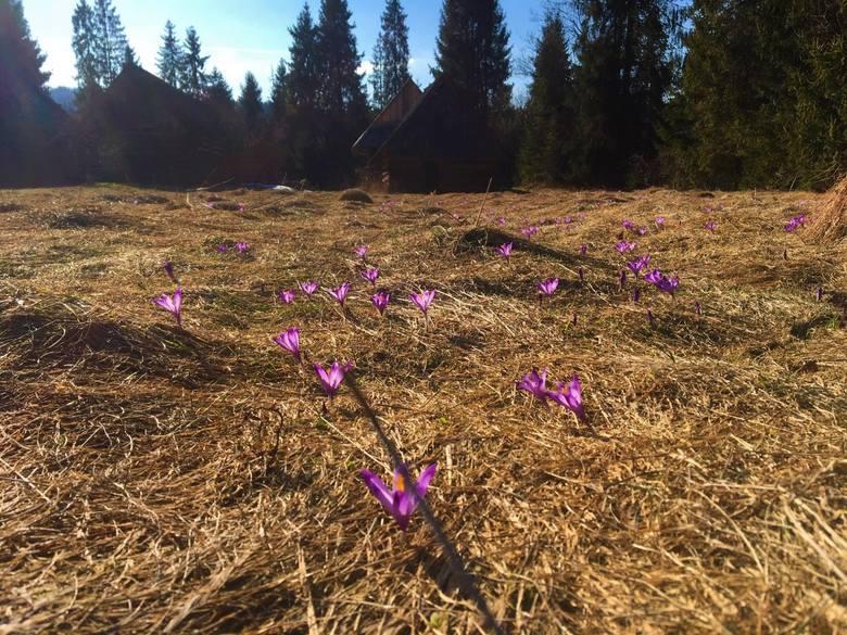 Coraz więcej miejsc z krokusami pod Tatrami. Zobaczmy je chociaż online [ZDJĘCIA]