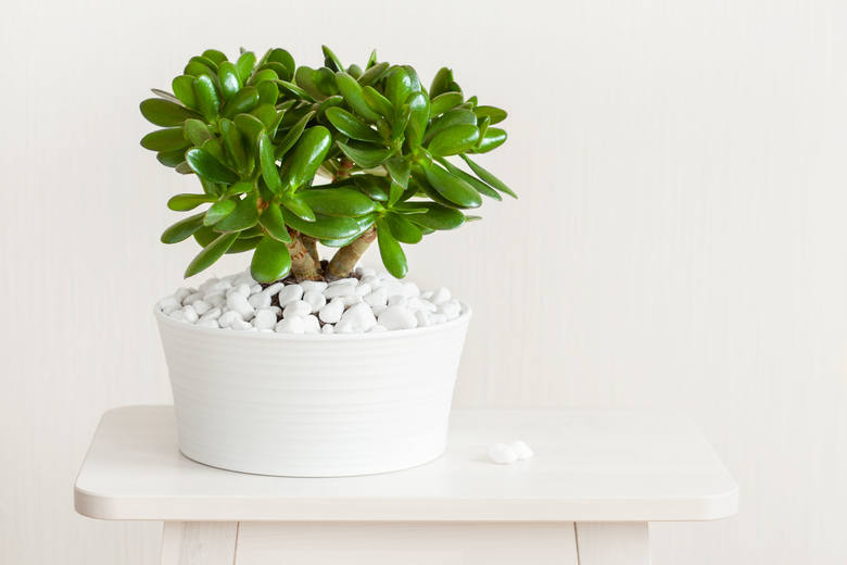 Grubosz, czyli drzewko szczęścia, to łatwy w uprawie sukulent (roślina gromadząca w liściach wodę). Lubi dobre nasłonecznienie, nie znosi zalania. Toleruje