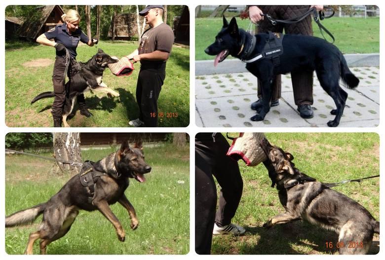 W bydgoskiej Straży Miejskiej służy 11 czworonogów, które na co dzień pomagają funkcjonariuszom w ich obowiązkach. Niedawno do grona służbowych psów