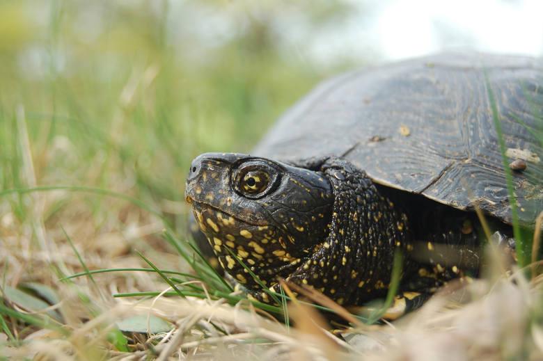 """""""Salamandra"""" pomaga żółwiom. Zbiórka funduszy na ochronę żółwi błotnych w Wielkopolsce"""