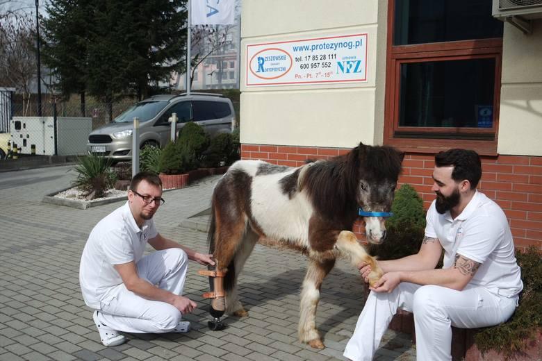 W Rzeszowie powstała pierwsza w Polsce proteza dla kucyka [ZDJĘCIA, WIDEO]