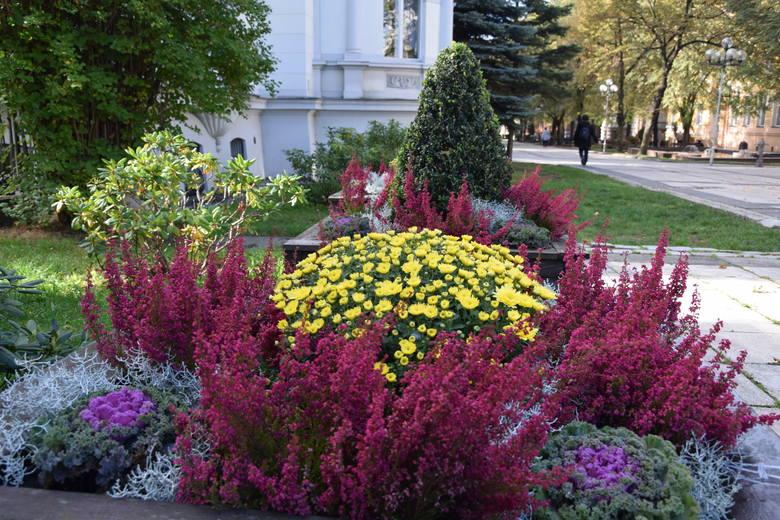 Jesienny wystrój Zielonej Góry: kolorowa kapusta, wrzosy, chryzantemy, trawy...